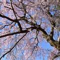 農場の桜・02