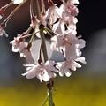 農場の桜・03