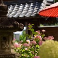 写真: 紫陽花・05