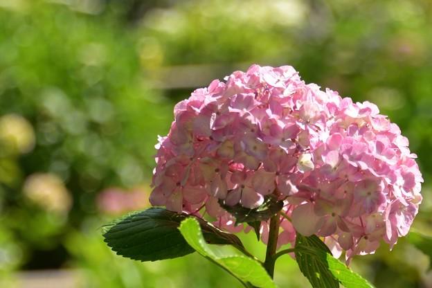 紫陽花・06