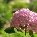写真: 紫陽花・06