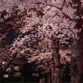 写真: 白川夜櫻