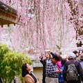 写真: 醍醐寺垂櫻