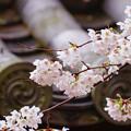 写真: 醍醐寺櫻花