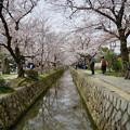 写真: 櫻影(桜の影)