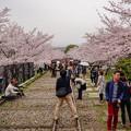 写真: 蹴上櫻花