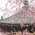 Photos: 櫻