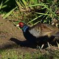 日本の #国鳥『天然の #キジ』
