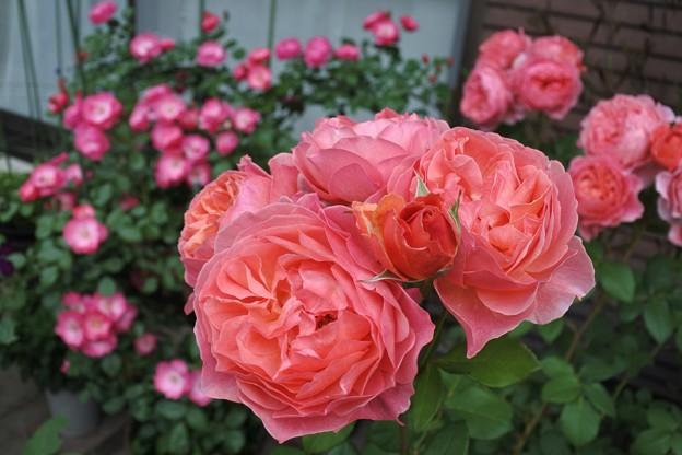 バラの季節♪