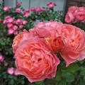 写真: バラの季節♪