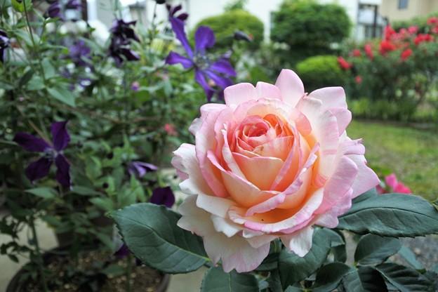 桃のお菓子という意味のバラ
