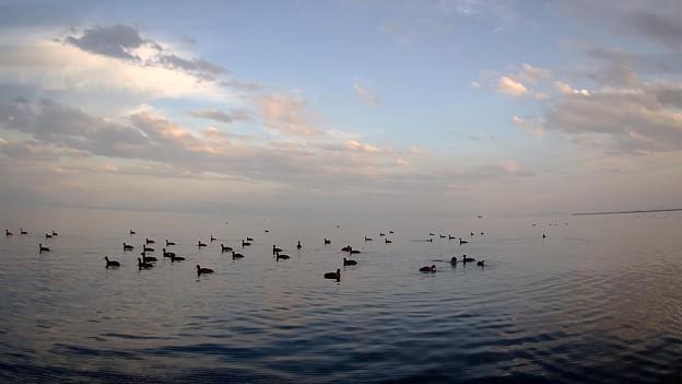 琵琶湖の鴨
