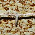 DSC_8821 (2)トリバ科の蛾-2