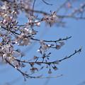 Photos: ひょうたん桜(2020-3-24)