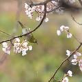 Photos: ひょうたん桜とメジロ