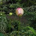 Photos: 7/13の蓮 もう咲きそう