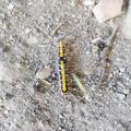 毛虫-2  ゴマフリドクガ?の幼虫