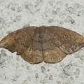 マエキカギバ本土亜種-1