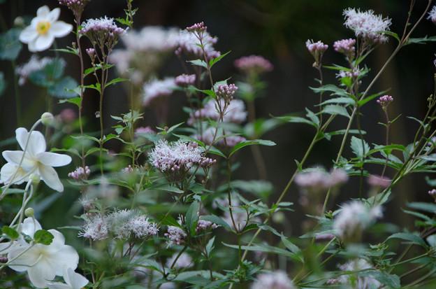 Photos: フジバカマの咲く庭