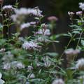 フジバカマの咲く庭