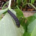 セスジスズメ 幼虫-1