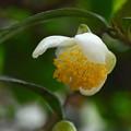 茶の花-1