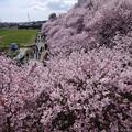 春めき満開