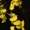 Photos: ginkgo