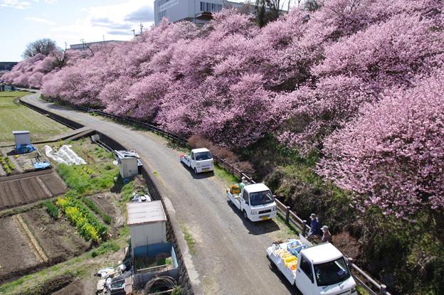 Photos: 春めき桜の路