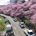 春めき桜の路