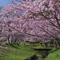 春の小川とさくら