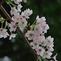 Photos: 神社桜