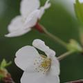 Photos: 高台桜