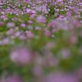 Photos: 田んぼは花畑