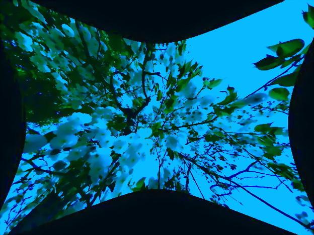 八重桜-02e