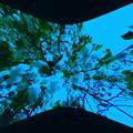 写真: 八重桜-02e