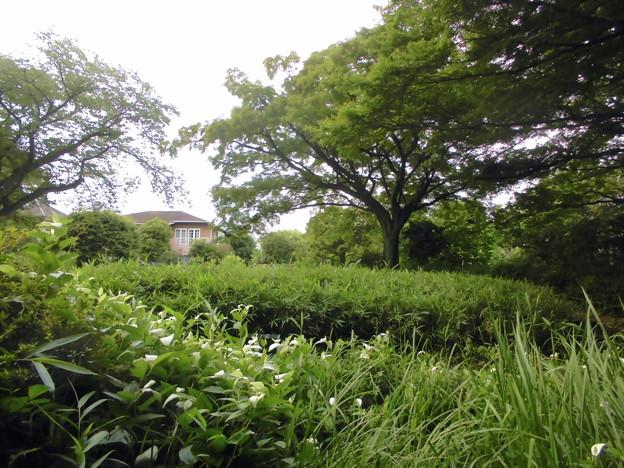 世田谷区_桜丘すみれば自然庭園-05池と半夏生b