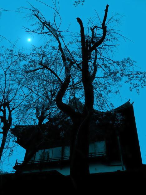 写真: 夜桜-03a