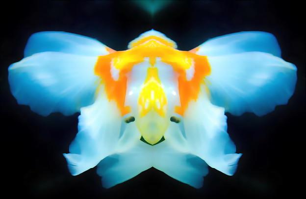 写真: 金魚-02尾鰭a
