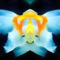 金魚-02尾鰭a
