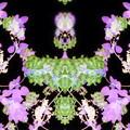 写真: 桐の花-02c(1-2)