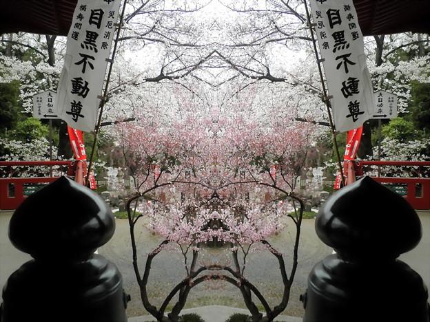 目黒不動尊-桜16b