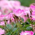 Photos: 春薔薇