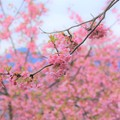写真: ピンクの春