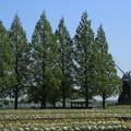 写真: チューリップの咲くころ