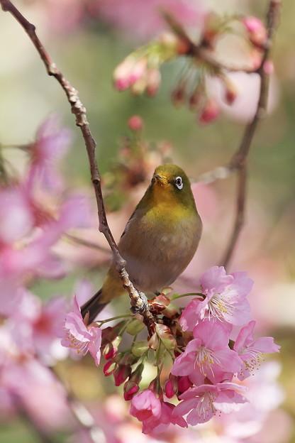 桜のブランコ