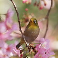 Photos: 桜のブランコ