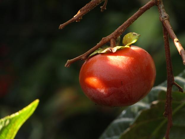 写真: 柿の実一つ