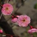 Photos: うめの花