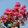 Photos: 百日紅の花